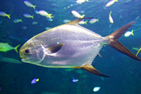 Golden Trevally, Sydney Aquarium 1