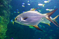 Golden Trevally, Sydney Aquarium 2