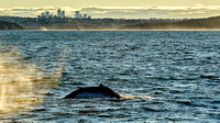 Humpback Whale and Sydney Coast 03
