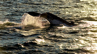 Humpback Whales Sydney 11