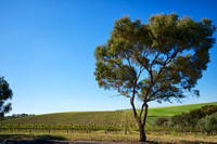 Vineyard and tree, McLaren Vale, South Australia
