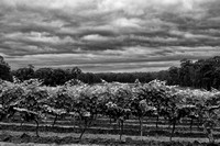 Vineyard, Hunter Valley