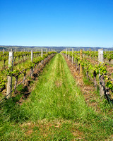 Hugh Hamilton Wines vineyard, McLaren Vale, South Australia