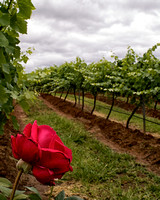 Rose and Vineyard, Hunter Valley